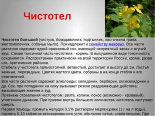 Чистотел Чистотел большой (чистуха, бородавочник, подтынник, ласточкина трава