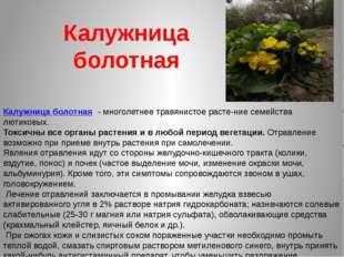 Калужница болотная Калужница болотная - многолетнее травянистое растение се