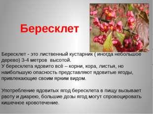 Бересклет Бересклет - это лиственный кустарник ( иногда небольшое дерево) 3-4