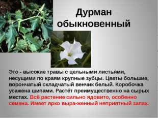 Дурман обыкновенный Это - высокие травы с цельными листьями, несущими по края