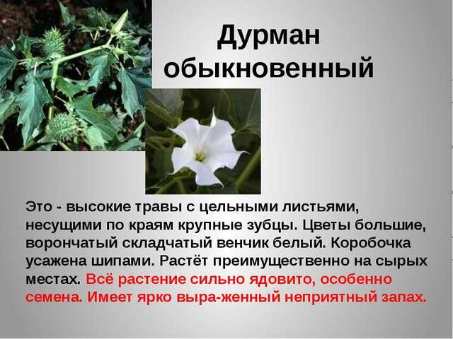 Дурман обыкновенный Это - высокие травы с цельными листьями, несущими по края...