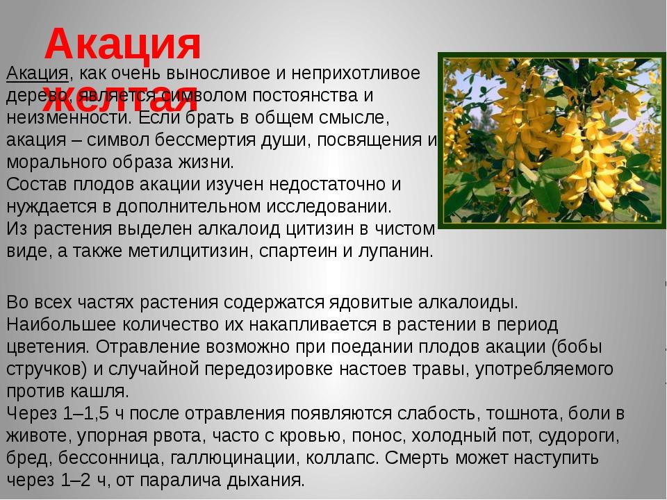 Акация желтая Акация, как очень выносливое и неприхотливое дерево, является с...
