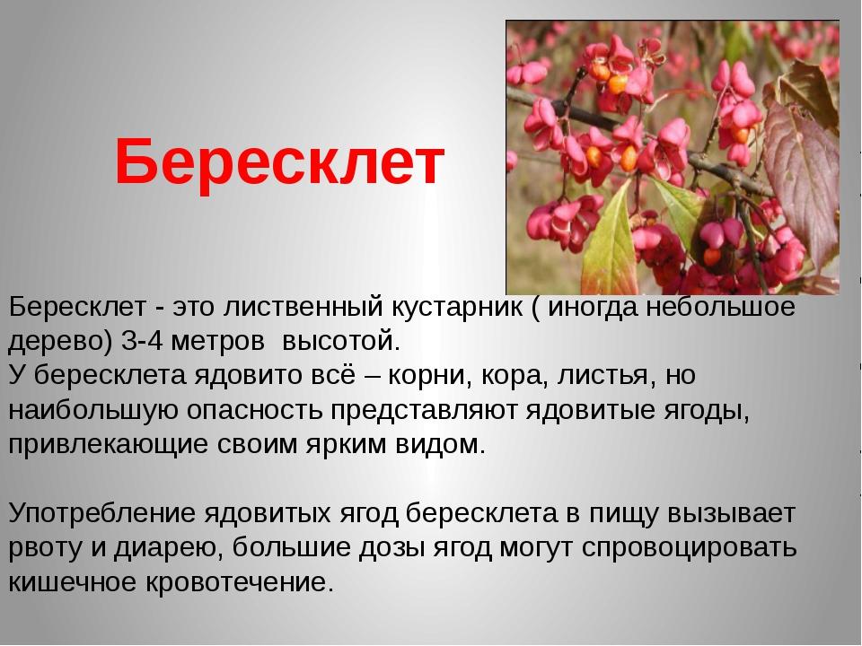 Бересклет Бересклет - это лиственный кустарник ( иногда небольшое дерево) 3-4...