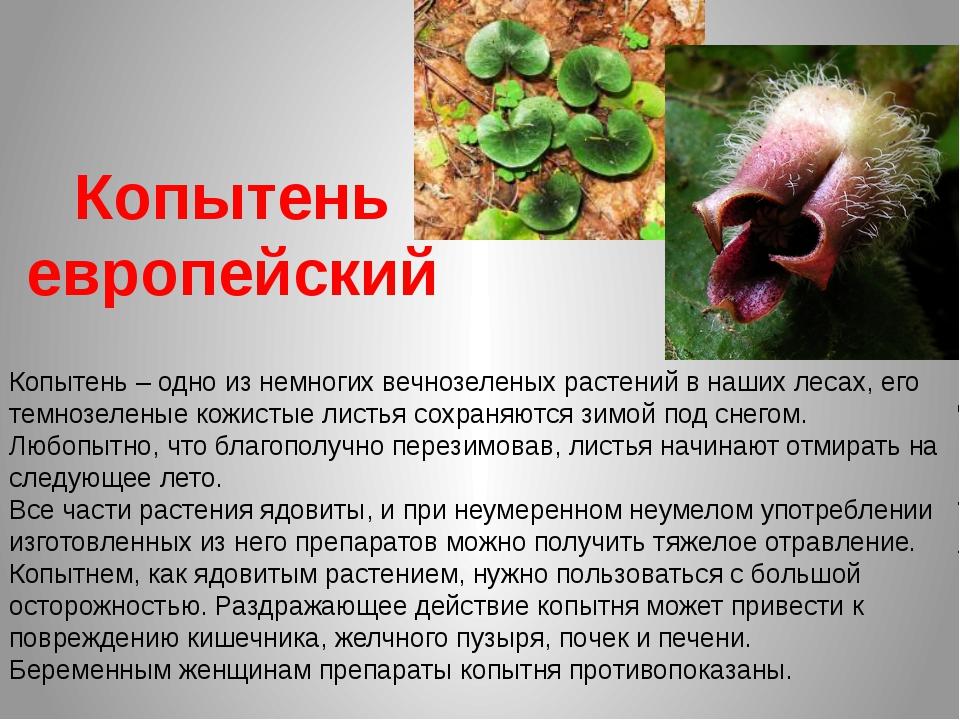 Копытень европейский Копытень – одно из немногих вечнозеленых растений в наши...