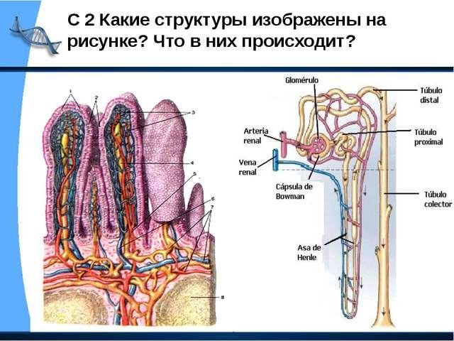 С 2 Какие структуры изображены на рисунке? Что в них происходит?