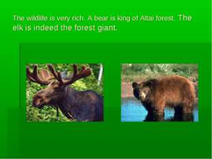 The wildlife is very rich. A bear is king of Altai forest. The elk is indeed