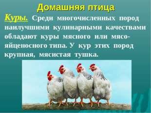 Домашняя птица Куры. Среди многочисленных пород наилучшими кулинарными качест