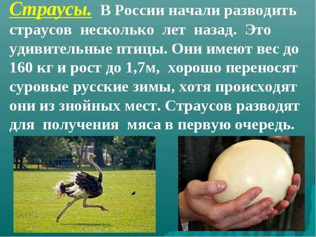 Страусы. В России начали разводить страусов несколько лет назад. Это удивител...