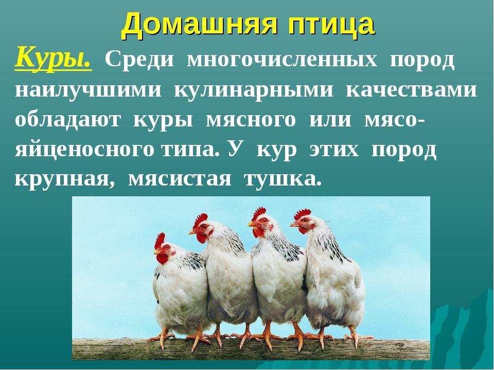 Домашняя птица Куры. Среди многочисленных пород наилучшими кулинарными качест...