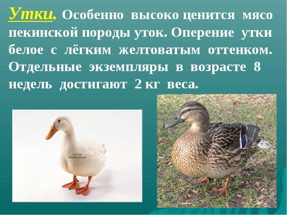 Утки. Особенно высоко ценится мясо пекинской породы уток. Оперение утки белое...