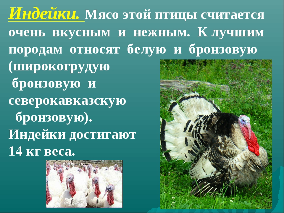 Индейки. Мясо этой птицы считается очень вкусным и нежным. К лучшим породам о...