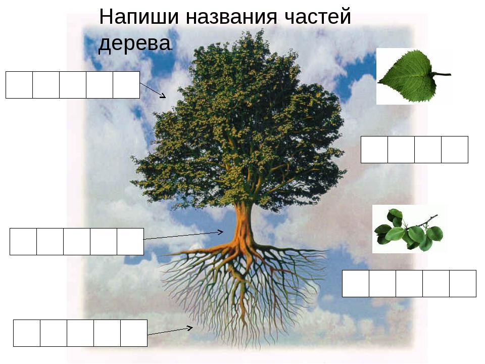 Напиши названия частей дерева.