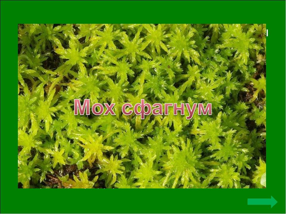 Этот мох использовали в качестве ваты в партизанских отрядах. Кроме того, он...