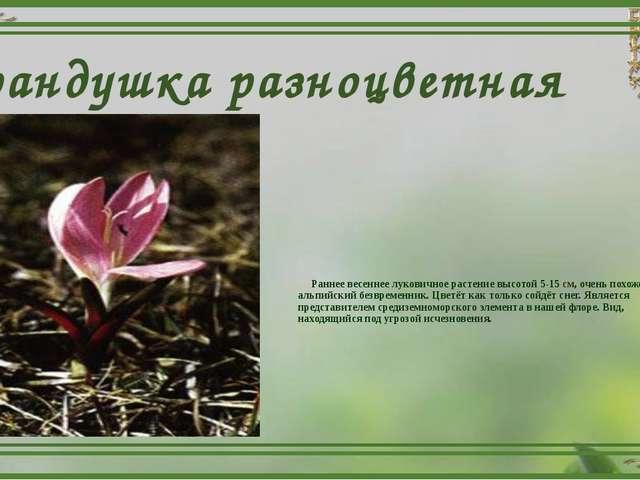 Брандушка разноцветная Раннее весеннее луковичное растение высотой 5-15 см, о...