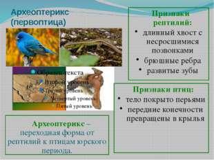 Археоптерикс (первоптица) Археоптерикс – переходная форма от рептилий к птица