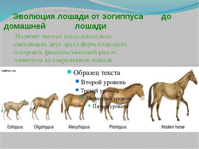 Эволюция лошади от эогиппуса до домашней лошади Наличие многих последователь...