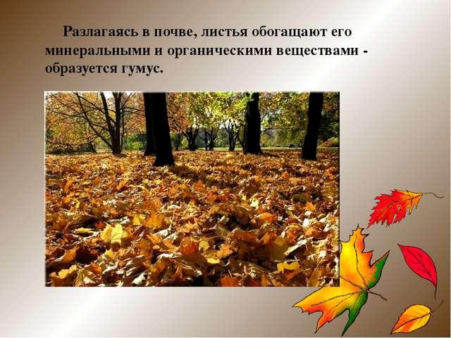 Разлагаясь в почве, листья обогащают его минеральными и органическими вещест...
