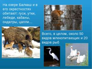 На озере Балкаш и в его окрестностях обитают: гуси, утки, лебеди, кабаны, онд