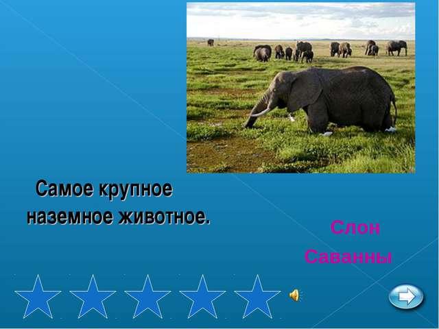 Самое крупное наземное животное. Слон Саванны