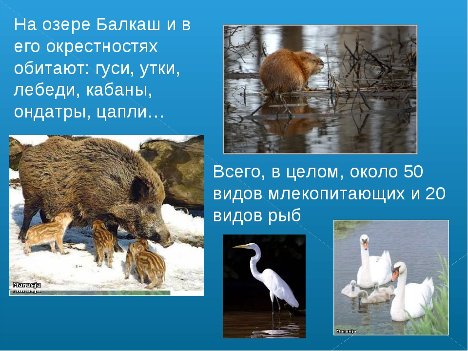 На озере Балкаш и в его окрестностях обитают: гуси, утки, лебеди, кабаны, онд...