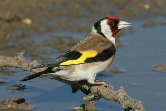 http://www.birdforum.net/opus/images/thumb/a/a4/European_Goldfinch.jpg/550px-European_Goldfinch.jpg