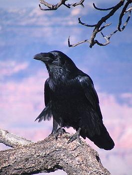 Common Raven Grand Canyon 1.jpg