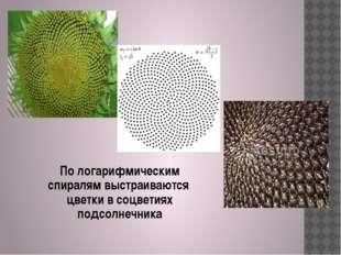 По логарифмическим спиралям выстраиваются цветки в соцветиях подсолнечника