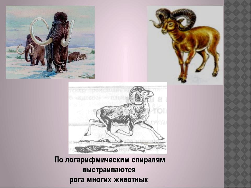 По логарифмическим спиралям выстраиваются рога многих животных