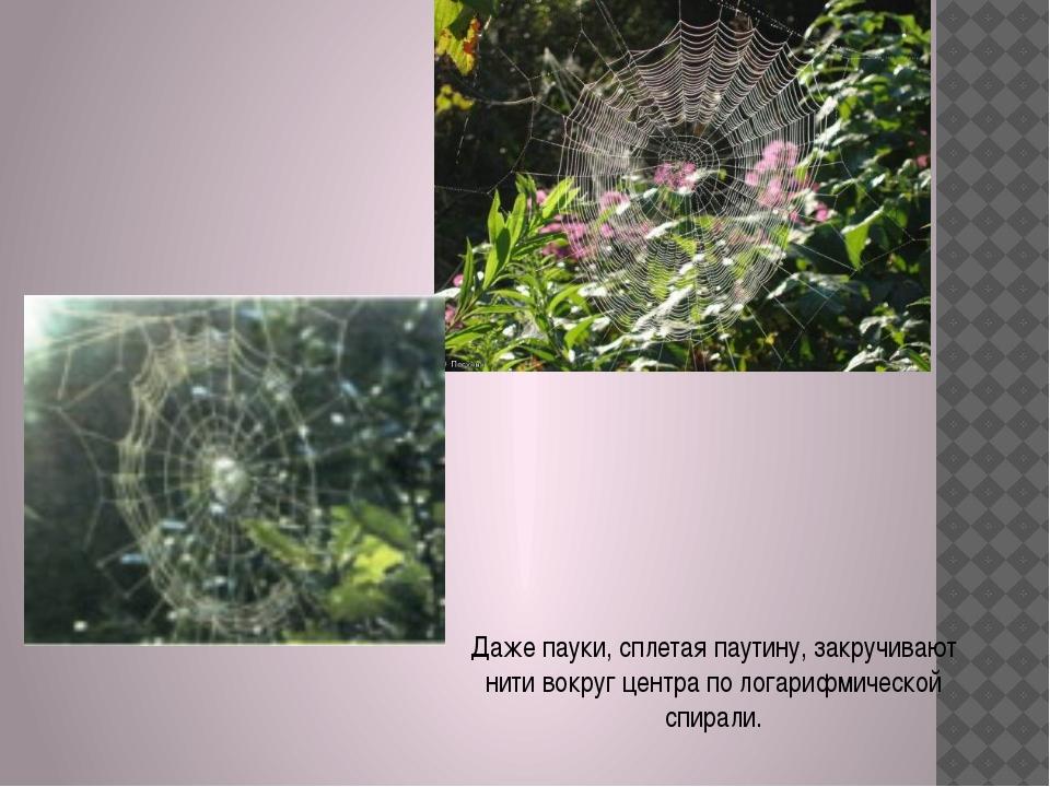Даже пауки, сплетая паутину, закручивают нити вокруг центра по логарифмическо...