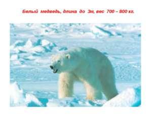 Белый медведь, длина до 3м, вес 700 – 800 кг.