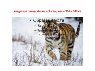 Амурский тигр, длина – 3 – 4м, вес – 350 – 380 кг.
