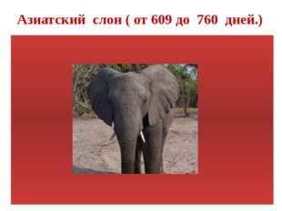 Азиатский слон ( от 609 до 760 дней.)