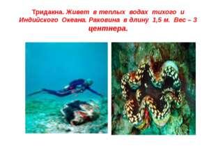 Тридакна. Живет в теплых водах тихого и Индийского Океана. Раковина в длину 1