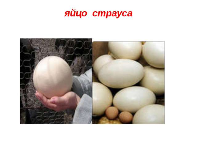 яйцо страуса