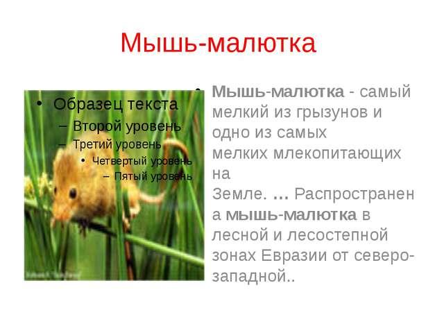 Мышь-малютка Мышь-малютка- самый мелкий из грызунов и одно из самых мелких...