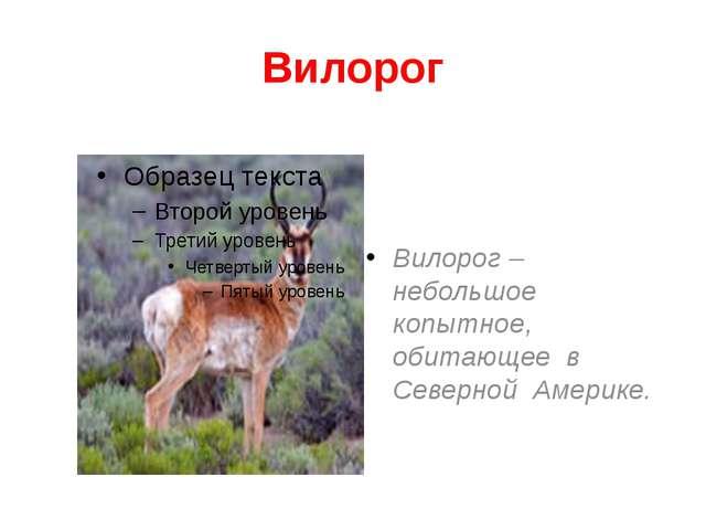 Вилорог Вилорог – небольшое копытное, обитающее в Северной Америке.