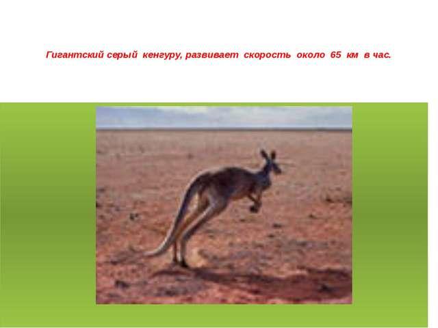Гигантский серый кенгуру, развивает скорость около 65 км в час.