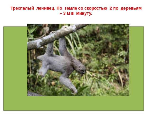 Трехпалый ленивец. По земле со скоростью 2 по деревьям – 3 м в минуту.
