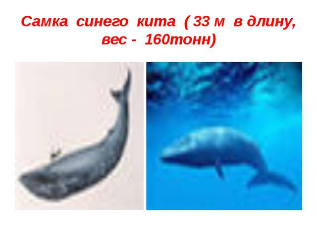Самка синего кита ( 33 м в длину, вес - 160тонн)