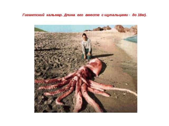Гигантский кальмар. Длина его вместе с щупальцами - до 18м).