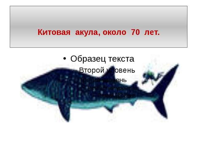 Китовая акула, около 70 лет.