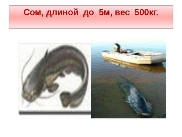 Сом, длиной до 5м, вес 500кг.