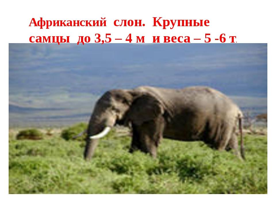 Африканский слон. Крупные самцы до 3,5 – 4 м и веса – 5 -6 т.