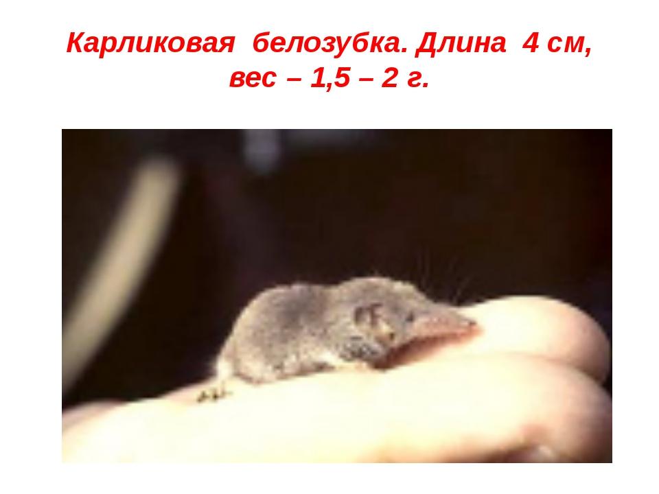 Карликовая белозубка. Длина 4 см, вес – 1,5 – 2 г.