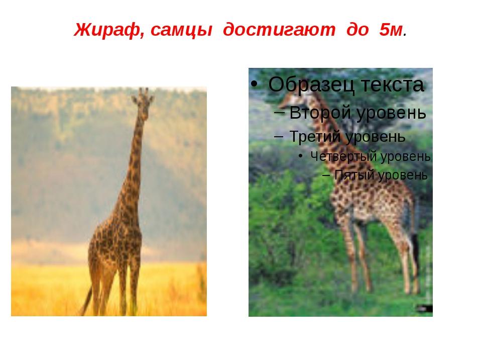 Жираф, самцы достигают до 5м.