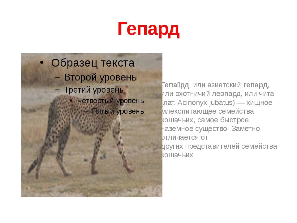 Гепард Гепа́рд, или азиатскийгепард, или охотничий леопард, или чита (лат.A...