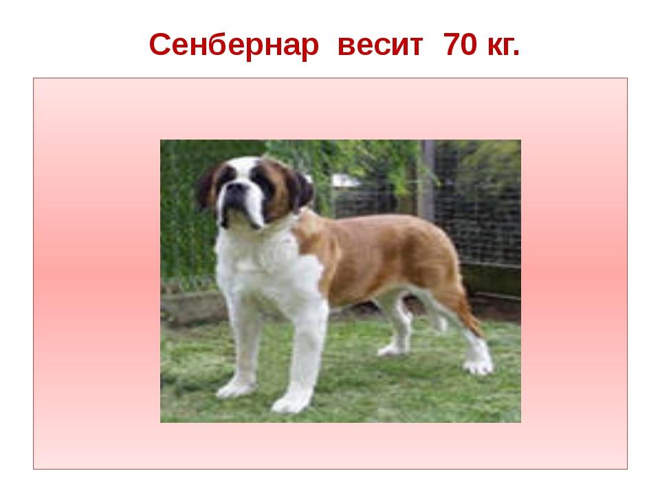 Сенбернар весит 70 кг.