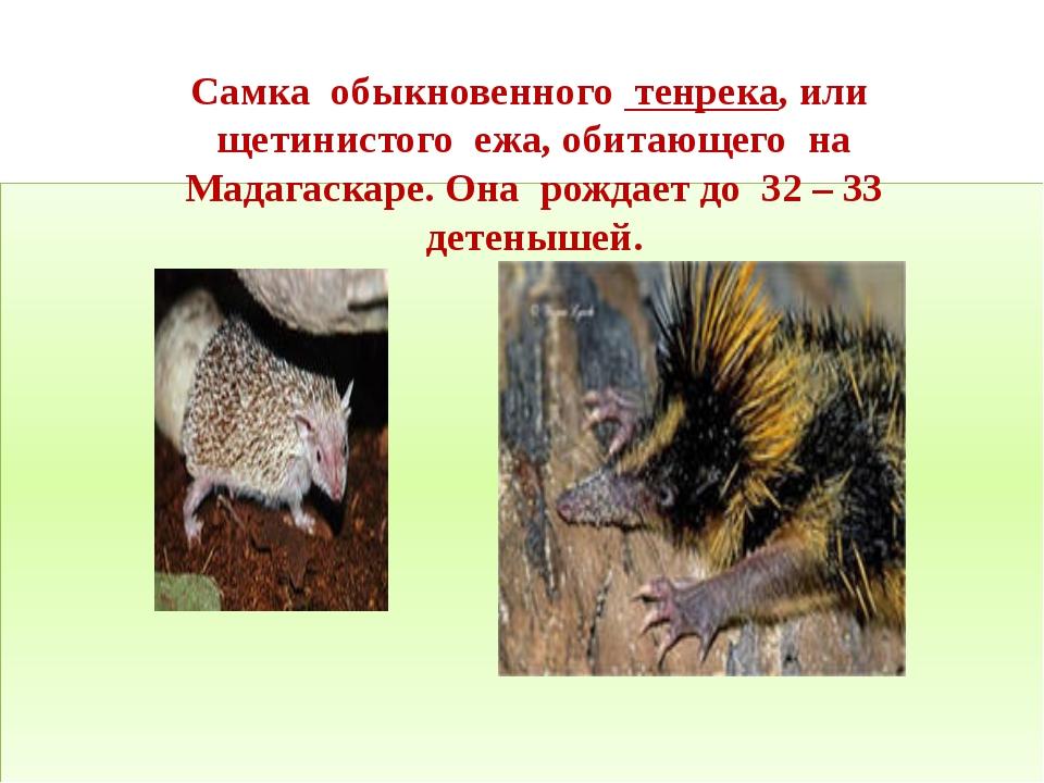 Самка обыкновенного тенрека, или щетинистого ежа, обитающего на Мадагаскаре....