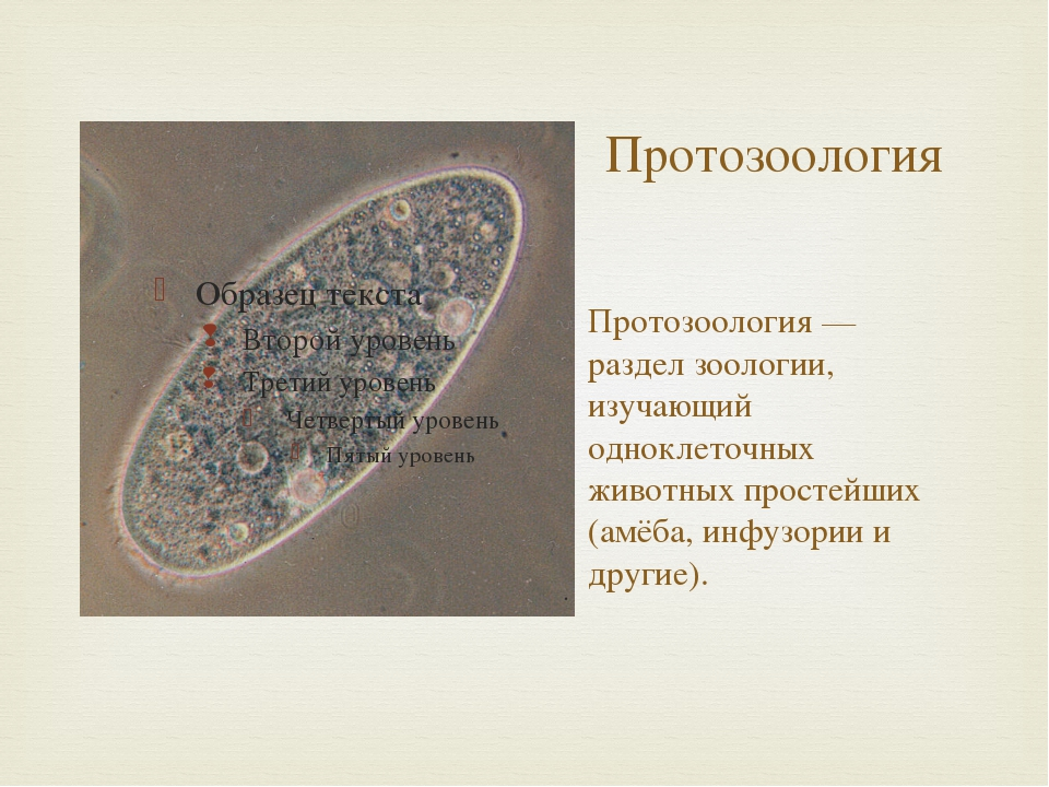 Протозоология Протозоология — раздел зоологии, изучающий одноклеточных животн...