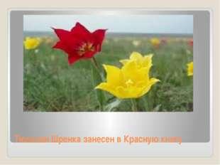 Тюльпан Шренка занесен в Красную книгу